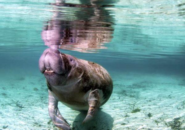 lamantins en Floride