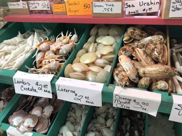 she-sells-sea-shells-sanibel