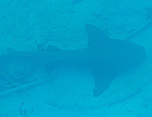 requin nourrice bahamas