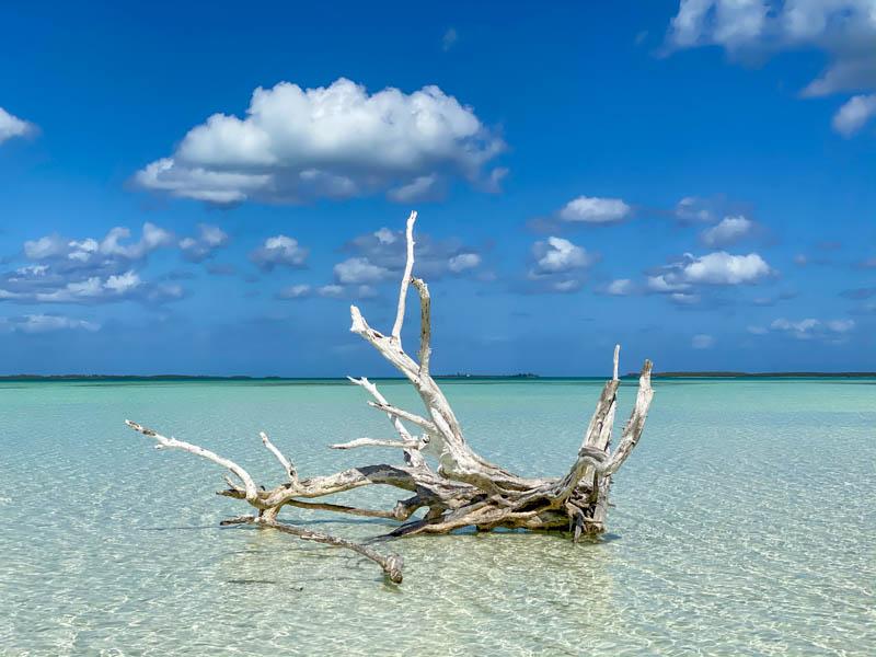 lone tree Harbour Island