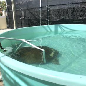 loggerhead-marinelife-center-hopital-tortues