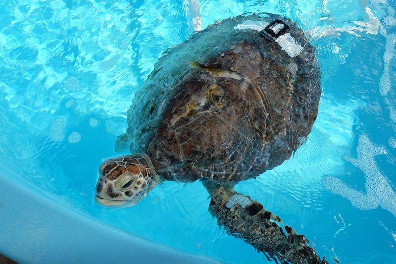 loggerhead-marinelife-center-hopital-tortues-hôpital des-tortues-juno-beach