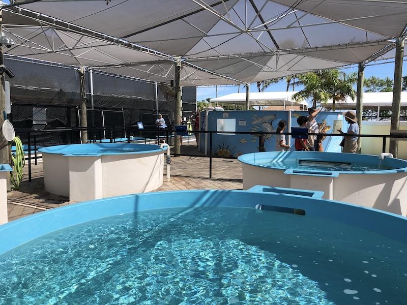loggerhead-marinelife-center-hopital-tortues-hôpital des tortues-juno-beach-2