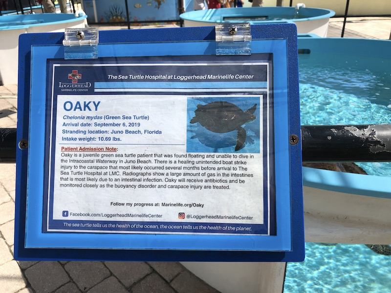 loggerhead-marinelife-center-hopital-tortues-hôpital-tortues-juno-beach