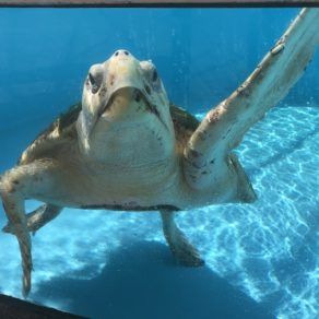 oggerhead-marinelife-center-hopital-tortues-hôpital des-tortues-juno-beach